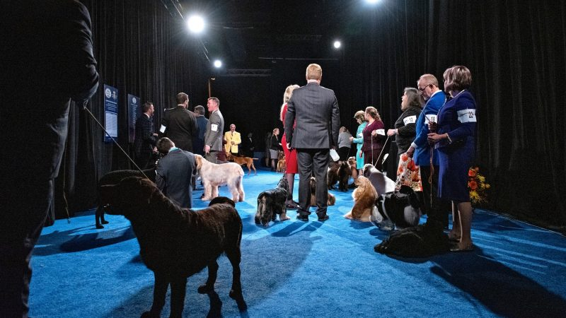 Handlers wait backstage their dogs before the start of the sporting group competition at the National Dog Show in Oaks, Pa. (Kriston Jae Bethel for WHYY)
