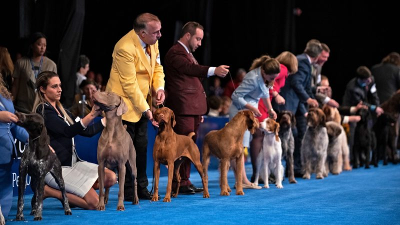 Handlers line up with their dogs before the start of the sporting group competition at the National Dog Show in Oaks, Pa. (Kriston Jae Bethel for WHYY)