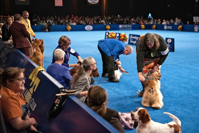 Handlers continue to groom their dogs during the sporting group competition at the National Dog Show in Oaks, Pa. (Kriston Jae Bethel for WHYY)