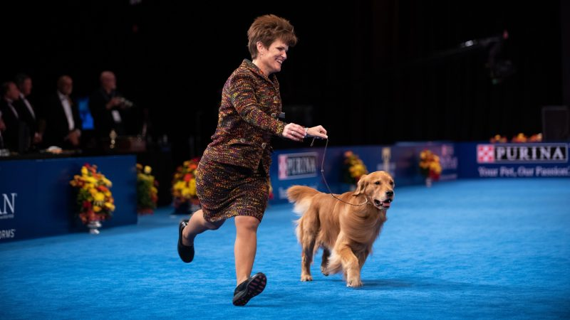 Karen Mammano runs with Daniel, the No. 1 golden retriever in the country, during competition at the National Dog Show in Oaks, Pa. While this was supposed to be a trial year for Daniel, he's already won 10 best in show awards. (Kriston Jae Bethel for WHYY)