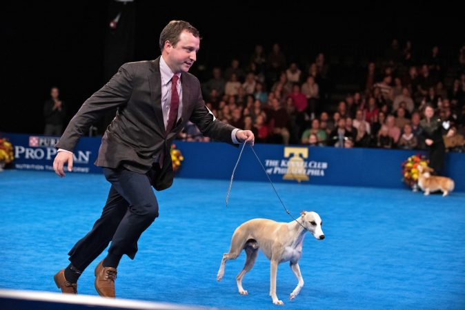 Justin Smithey and his whippet, Whiskey, take a lap around the ring during the Best in Show competition at the National Dog Show in Oaks, Pa. (Kriston Jae Bethel for WHYY)