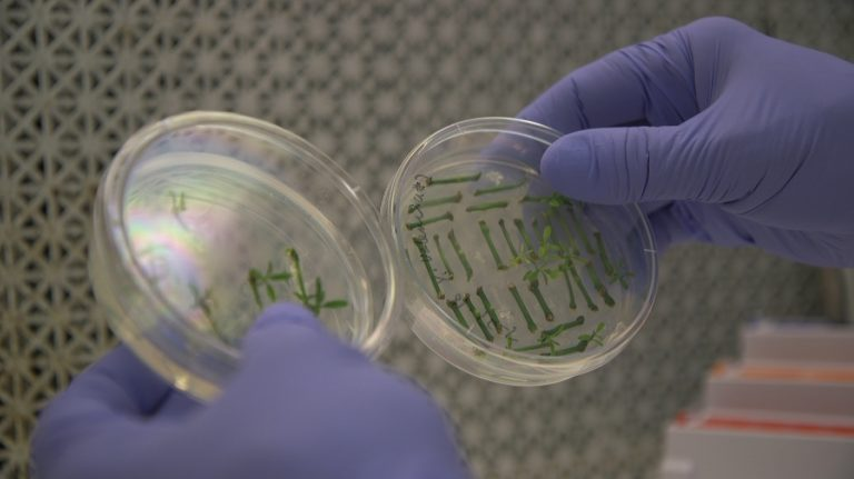Fred Gmitter, a geneticist at the University of Florida Citrus Research and Education Center, holds citrus seedlings that are used for gene editing research at the University of Florida in Lake Alfred, Fla., on Sept. 27, 2018. Gene-editing tools, with names like CRISPR and TALEN, promise to alter foods precisely, and cheaply _ without necessarily adding foreign DNA. Instead, they act like molecular scissors to alter the letters of an organism's own genetic alphabet. (Federica Narancio/AP Photo)