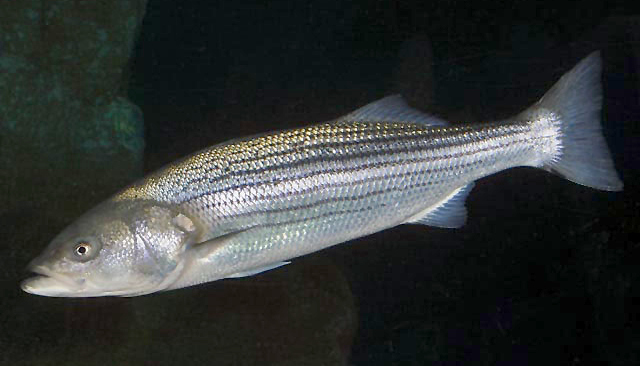 A striped bass. (Public domain image)