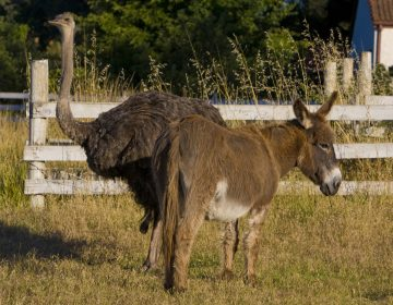 An emu and a donkey graze together in a neighborhood pasture in Healdsburg, Calif. A duo of the same species has reportedly