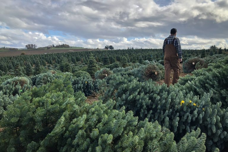 Casey Grogan walks through some recently cut noble fir Christmas trees at his farm near Silverton, Ore. This year he plans to harvest 60,000 trees off his property. (Anna King/Northwest News Network)
