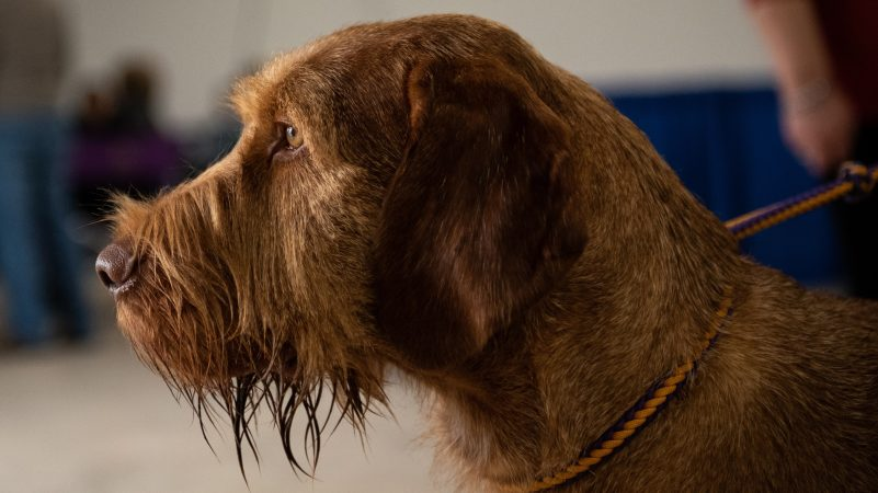 Dante, a 3-year-old wire-haired Vizsla, strikes a noble pose during the National Dog Show in Oaks, Pennsylvania, Nov. 17, 2018. (Kriston Jae Bethel for WHYY)