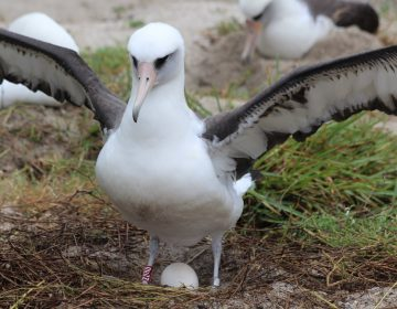 Wisdom, the world's oldest known wild bird, has laid another egg. She is at least 68. (Madalyn Riley/USFWS Volunteer/Flickr)