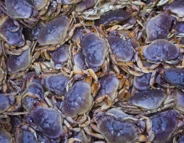 Crabs like these, caught off the coast of Alaska, have been affected by the neurotoxin domoic acid because of algae blooms in recent years, which makes them unsafe to eat (Michael Melford/Getty Image).