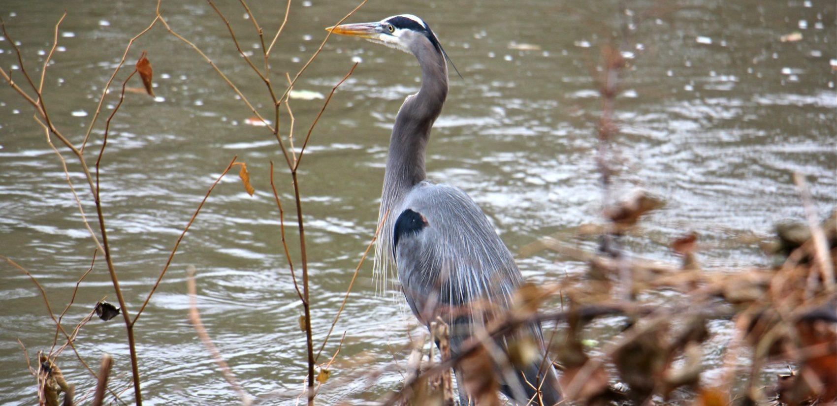 A great blue heron hunts on the banks of the Brandywine Creek in Wilmington. (Emma Lee/WHYY)