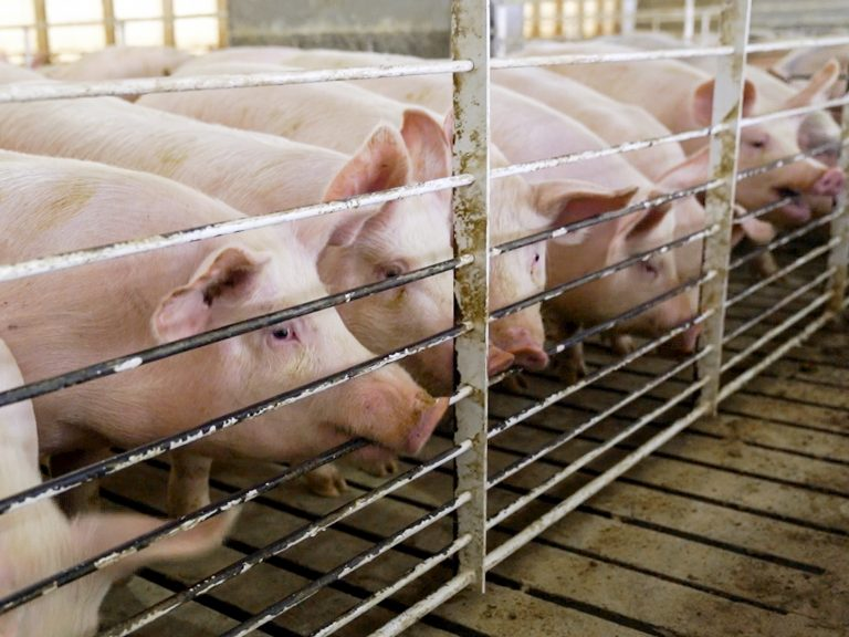 Pigs stand in their shed in a farm in Iowa. A judge Tuesday threw out a law banning undercover investigations in Iowa agricultural facilities.