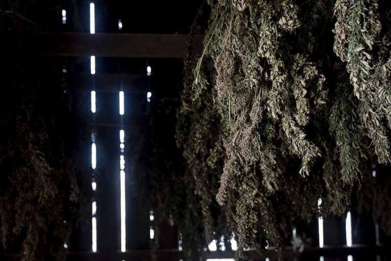Hemp plants hang to dry in a barn at Ananda Hemp in Cynthiana, Ky., Thursday, Jan 24, 2019. (Bryan Woolston/AP Photo)