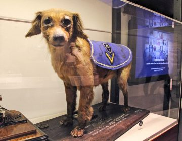 A taxidermied dog named Philly, who served in Philadelphia's 315th Infantry during World War I, is among the items in the collection of the Philadelphia History Museum. (Emma Lee/WHYY)