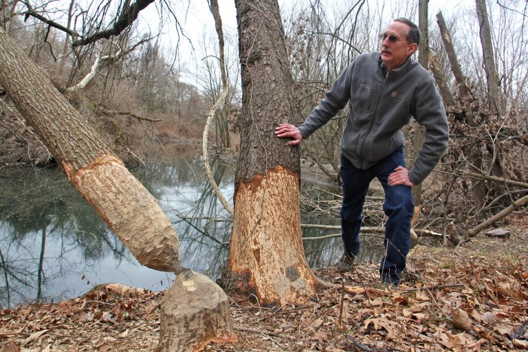Tom Witmer Natural Lands Restoration manager for Philadelphia Parks & Recreation, checks out damage done by beavers along Cobbs Creek.