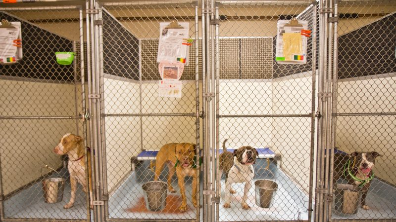 ACCT Philly's kennels are full, so the agency has waived its adoption fees for 60 large dogs. (Kimberly Paynter/WHYY)