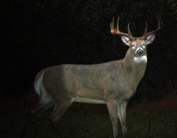 A robotic deer decoy used by New Jersey conservation officers. (Image courtesy of the N.J. Division of Fish and Wildlife)