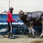 Kristin Shaffer, 12, of Port Trevorton, Pa., cleans her brown Swiss dairy cow during the 103rd Pennsylvania Farm Show in Harrisburg, Pa., Wednesday, Jan. 9, 2019. (Matt Rourke/AP)