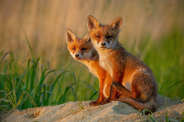 Red foxes prey on piping plovers, an endangered bird species, and can be hunted and trapped during specific times. The New Jersey Department of Environmental Protection traps and kills the foxes to protect the plovers. (Big Stock photo)