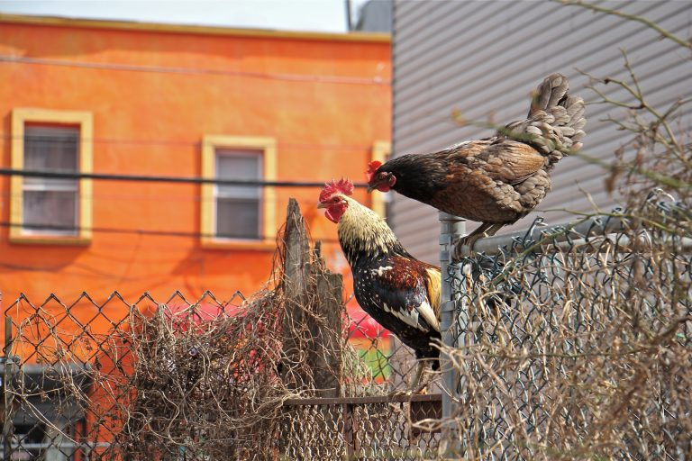 Chickens leave their enclosure at Dauphin and Waterloo streets. (Emma Lee/WHYY)