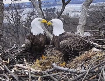 This March 4, 2019, image from video provided by Earth Conservation Corps Eagle Cam, shows Bald Eagles Liberty and Justice on their nest in Washington. (Earth Conservation Corps via AP)