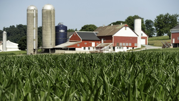 A field of corn is seen on a farm, Wednesday, July 11, 2018, Lancaster County, Pa. (Matt Slocum/AP Photo)