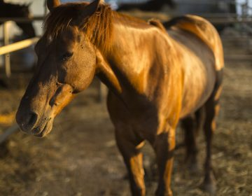 Portrait of a quarter horse. (Courtesy/Bigstock)