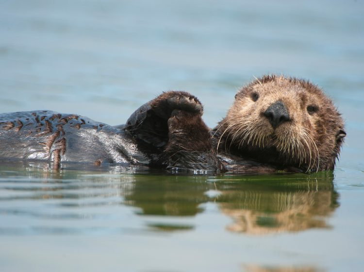 Picture Shows: A sea otter floating on its back in California