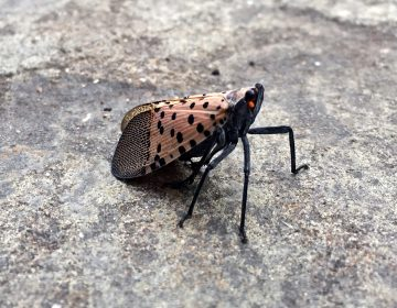 A spotted lanternfly lands on tthe sidewalk in Allentown, Pa. (Emma Lee/WHYY)