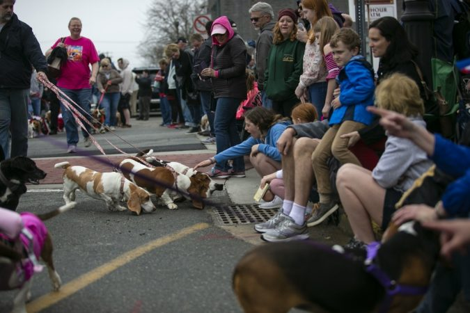 Basset hounds greet spectators as they participate in the annual BoardWaddle on Saturday, April 13, 2019, in Ocean City. (Miguel Martinez for WHYY)