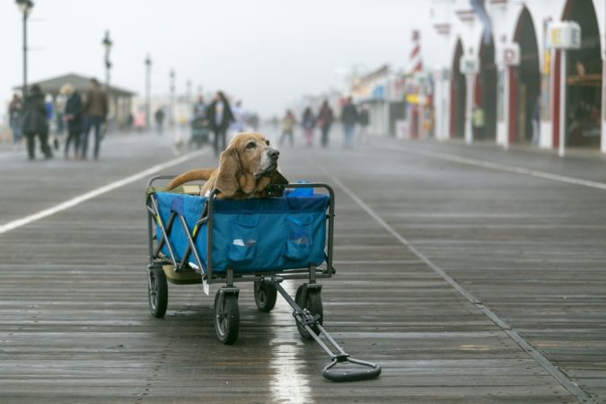 Eight-year-old Harley waits for his owner at the Ocean City boardwalk during the BoardWaddle on Saturday, April 13, 2019.  (Miguel Martinez for WHYY)