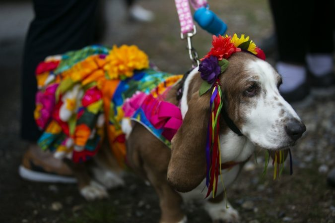Basset hounds participate in the annual BoardWaddle on Saturday, April 13, 2019, in Ocean City. (Miguel Martinez for WHYY)