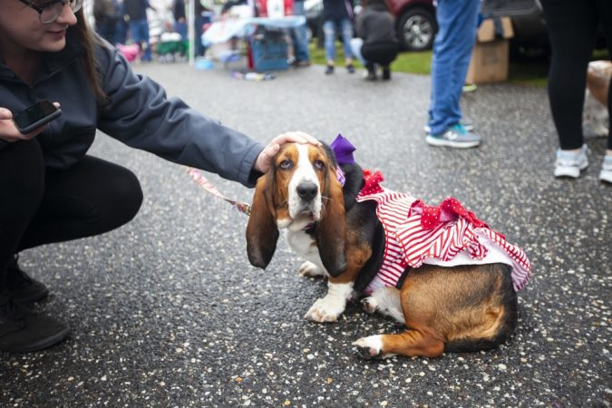 A basset hound is petted by a spectator during the BoardWaddle on Saturday, April 13, 2019, in Ocean City. (Miguel Martinez for WHYY)