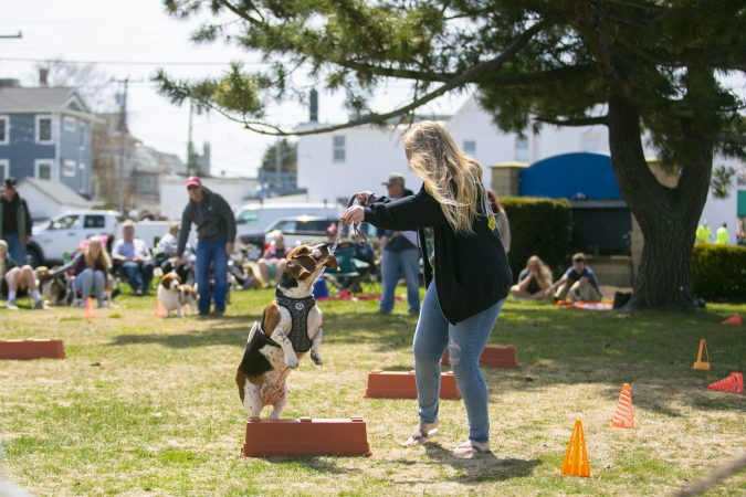 A basset hound runs through the obstacle course in the Basset Olympics on Friday, April 12, 2019, in Ocean City. (Miguel Martinez for WHYY)
