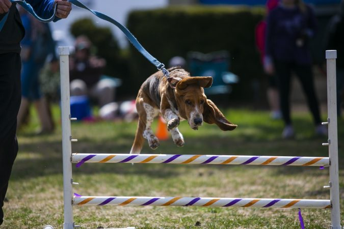 A basset hound competes in the 15-meter hurdles at the Basset Olympics on Friday, April 12, 2019, in Ocean City. (Miguel Martinez for WHYY)