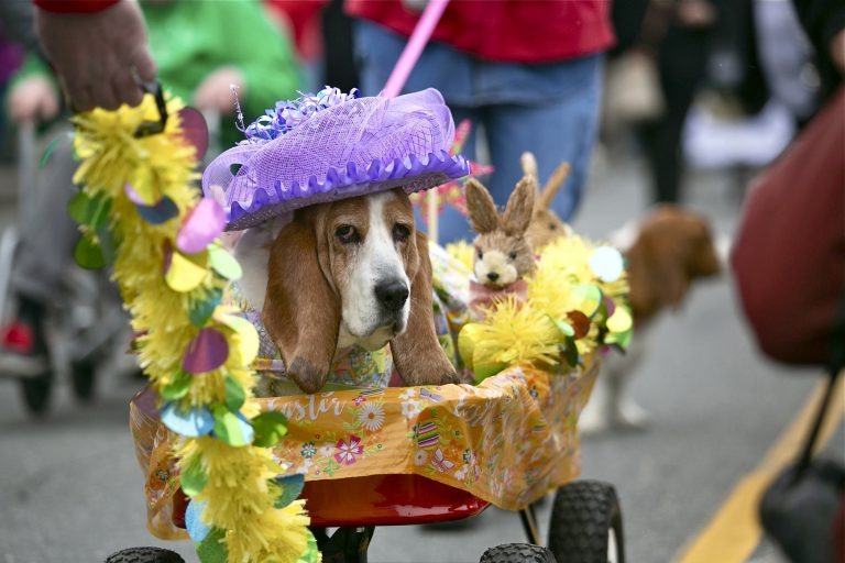 Thirteen-year-old Lily, in her Easter finery, makes her way down Asbury Avenue during the annual BoardWaddle in Ocean City on Saturday, April 13, 2019. Tri-State Basset Hound Rescue hosted the 21st BoardWaddle as part of the Ocean City Doo Dah Parade. (Miguel Martinez for WHYY)