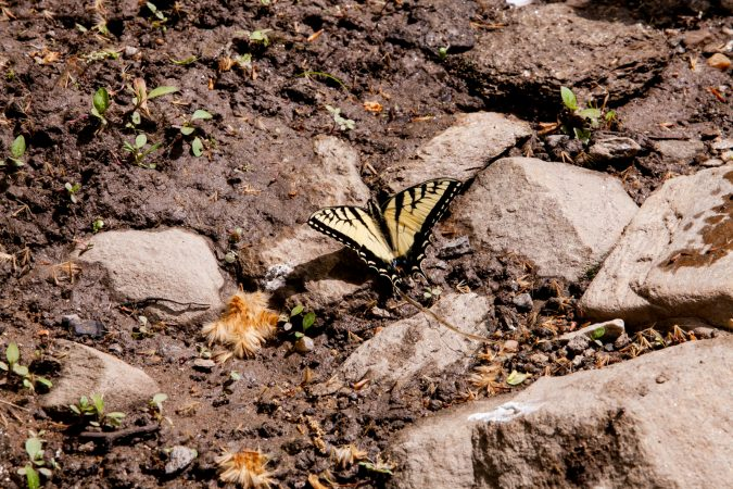A swallowtail butterfly is seen near the banks of the Wissahickon Creek Sunday during the City Nature Challenge. (Brad Larrison for WHYY)