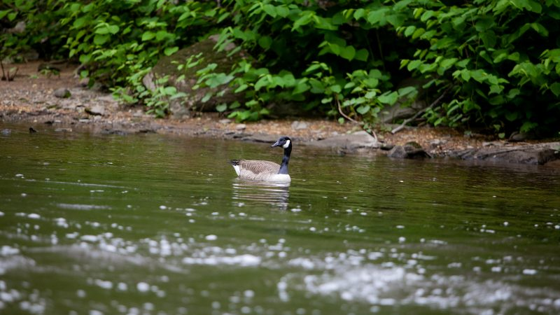 A Canada goose is pictured in the Wissahickon Creek Sunday during the City Nature Challenge. (Brad Larrison for WHYY)