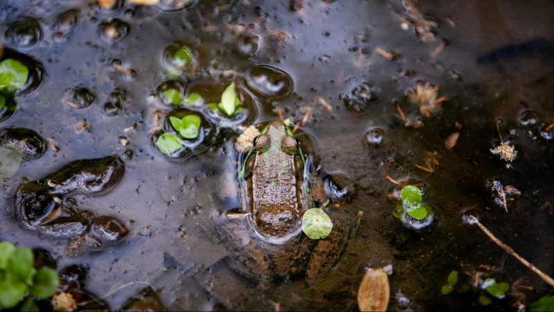 A green frog is seen in a small pond in Wissahickon Valley Park during the City Nature Challenge Sunday. (Brad Larrison for WHYY)
