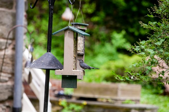 A catbird eats from a feeder near the Wissahickon Creek Sunday during the City Nature Challenge. (Brad Larrison for WHYY)