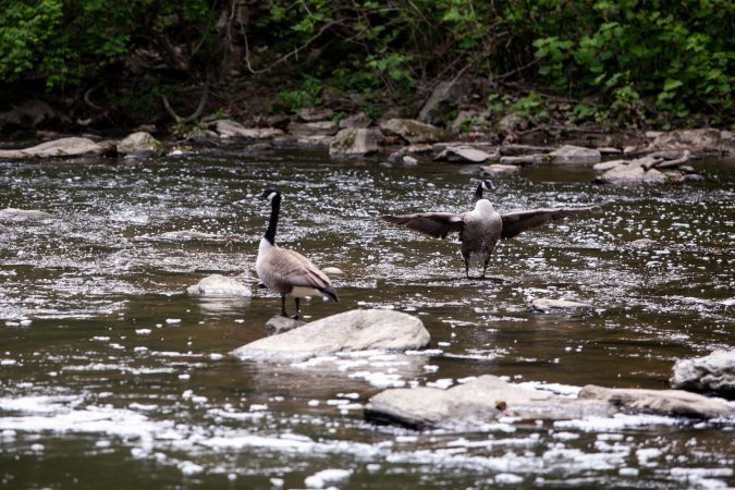Canada geese are pictured in the Wissahickon Creek Sunday during the City Nature Challenge. (Brad Larrison for WHYY)