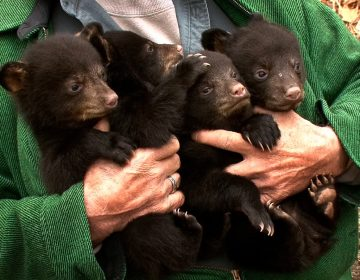 DEP volunteer Ernie Meshack, Stanhope, holds four of the black bear cubs that were removed from a den in Vernon Township, N.J. on March 22, 2011.  (Thomas P. Costello/The Asbury Park Press/AP Photo)