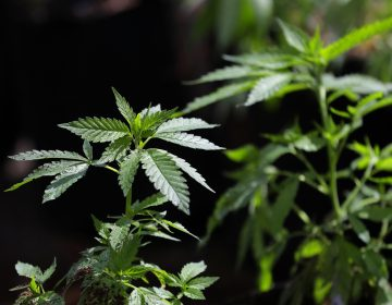 More states are legalizing marijuana, and Pennsylvania already allows the drug for medical use.  (Ted S. Warren/AP Photo)