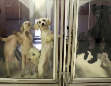 Dogs waiting for adoption leap and lean against the clear doors of their kennels at Main Line Animal Rescue in Chester Springs, Pa. (AP Photo/Carolyn Kaster)