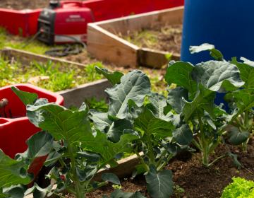 Greens grow at Five Loaves and Two Fishes community garden in Overbrook. (Angela Gervasi for WHYY)