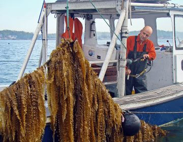 Bren Smith lifts a line of kelp on his farm. Photo provided by GreenWave