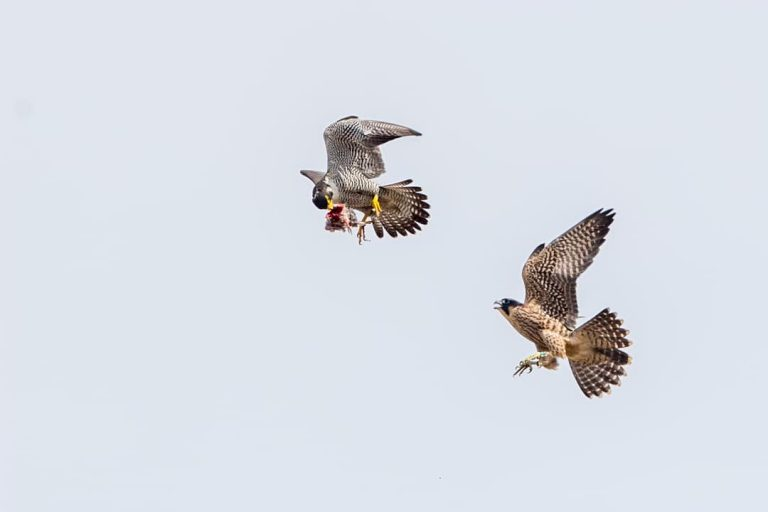 Falcons soar through the sky above downtown Wilmington. The birds were closely monitored by dozens of bird watchers as part of the Delaware Ornithological Society's 12th annual falcon watch. (Courtesy Jerry am Ende/Delaware Ornithological Society)