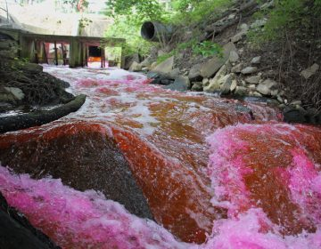 Red dye is released from the Kent County wastewater treatment plant into The Gut, a tributary of the Murderkill River which runs into the Delaware Bay. (Emma Lee/WHYY)