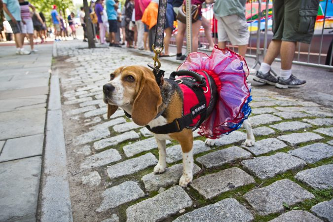 Polly celebrates the Fourth of July in Philadelphia. (Kimberly Paynter/WHYY)