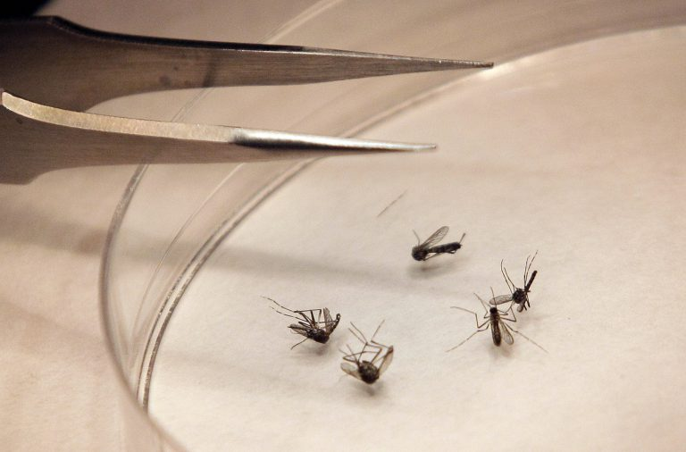 Mosquitos are sorted in a lab