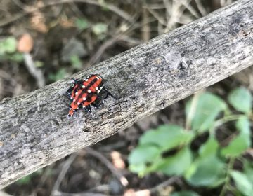 A spotted lanternfly nymph. (Marie Cusick/ StateImpact Pennsylvania)