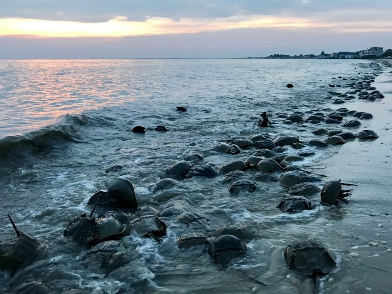 When the spring high tides strike, horseshoe crabs know its time to spawn. Tens of thousands of them descend on the Delaware Bay every year for an epic mating ritual. (Steph Yin/WHYY)